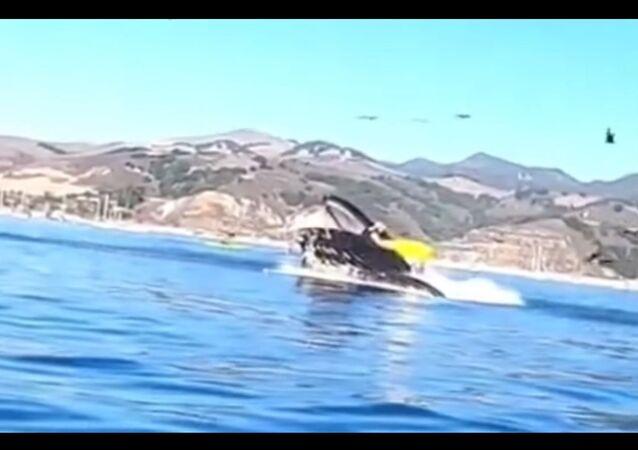 Whale swallowing kayakers in California's Avila Beach