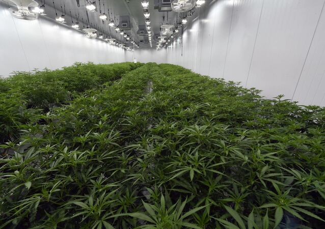 This Aug. 22, 2019 photo shows medical marijuana plants being grown before flowering during a media tour of the Curaleaf medical cannabis cultivation and processing facility in Ravena, N.Y.