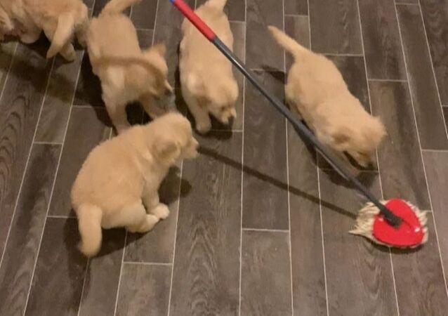 Golden retriever pups playing