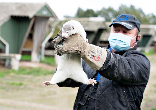 Thorbjorn Jepsen holds up a mink at his farm, amid the coronavirus disease (COVID-19) outbreak, in Gjoel, Denmark October 9, 2020
