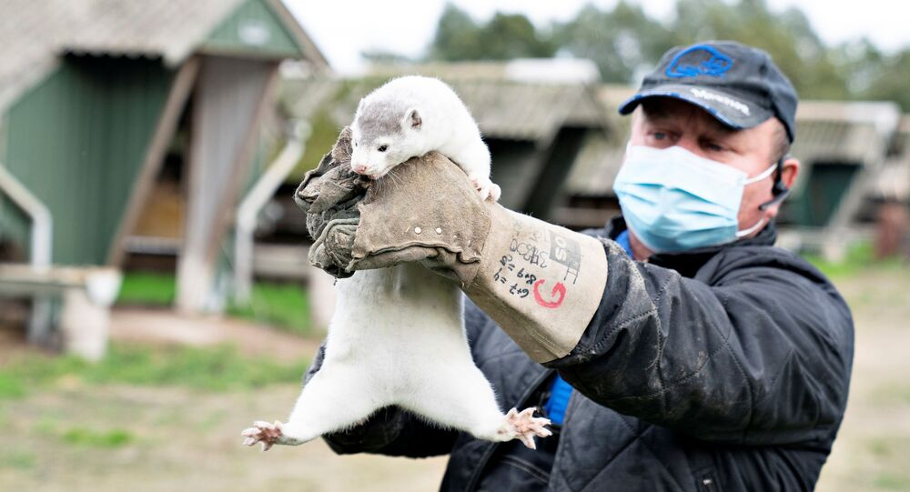 Thorbjorn Jepsen holds up a mink at his farm, amid the coronavirus disease (COVID-19) outbreak, in Gjoel, Denmark October 9, 2020