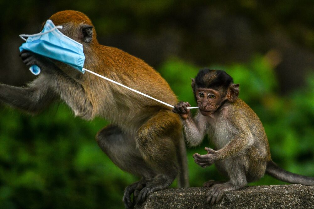 Macaque monkeys play with a face mask, used as a preventive measure against the spread of the COVID-19 novel coronavirus, left behind by a passerby in Genting Sempah in Malaysia's Pahang state on 30 October 2020.