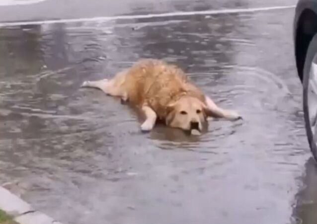 Mermaid golden retriever