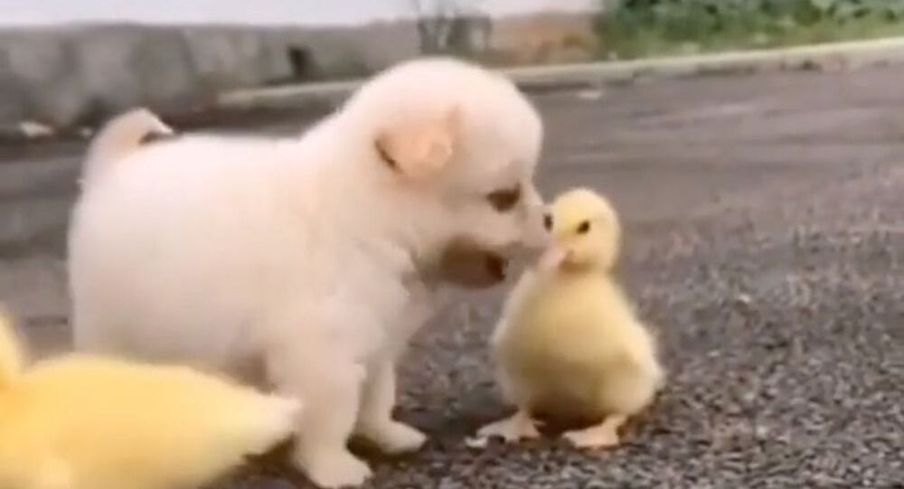 Cute puppy getting along with ducklings