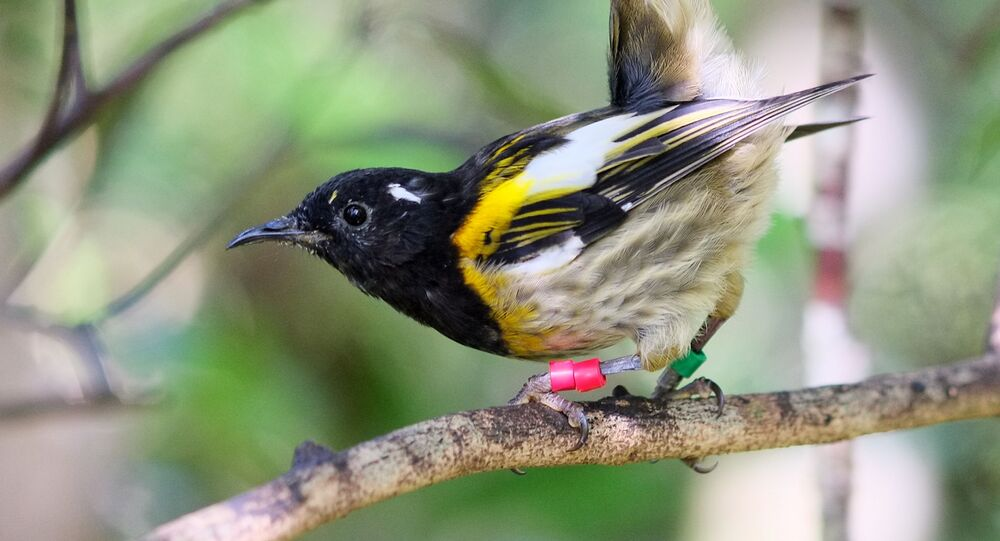 Male hihi (stitchbird) flicking up its tail feathers