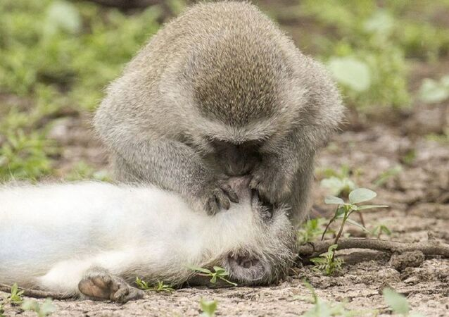 Astonishing images show monkey 'giving CPR and mouth-to-mouth' to 'wounded' mate