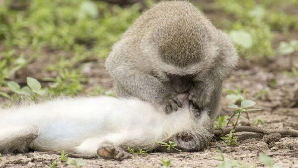 Astonishing images show monkey 'giving CPR and mouth-to-mouth' to 'wounded' mate - Sputnik International