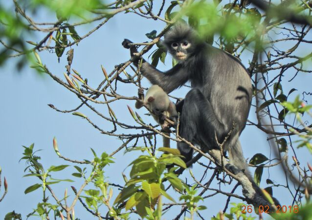 A handout picture made available by the German Primate Center (DPZ)- Leibniz Institute for Primate Research on November 10, 2020,   shows an adult female and juvenile Popa langur (Trachypithecus popa) in the crater of Mount Popa, Myanmar Myanmar on February 26, 2018