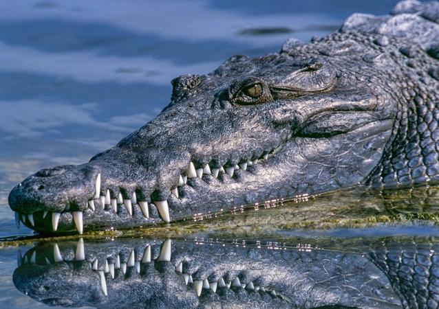 alligator, gator