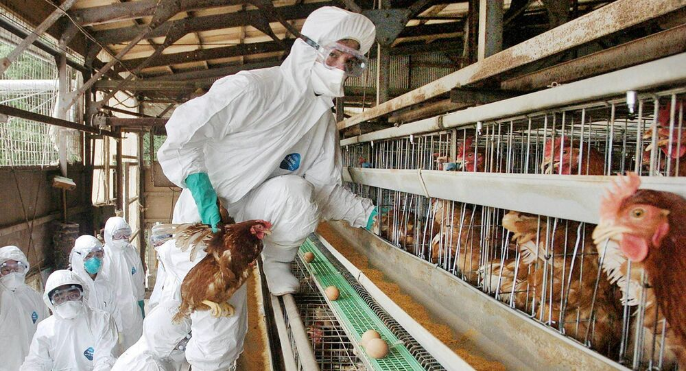 JAPAN OUTA medical officer in protective suit rounds up chickens to be slaughtered at a farm in Mitsukaido city, Ibaraki prefecture, 60km northeast of Toyko, 27 June 2005