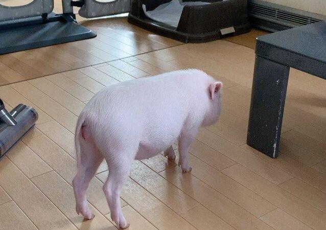 Pig and vacuum cleaner