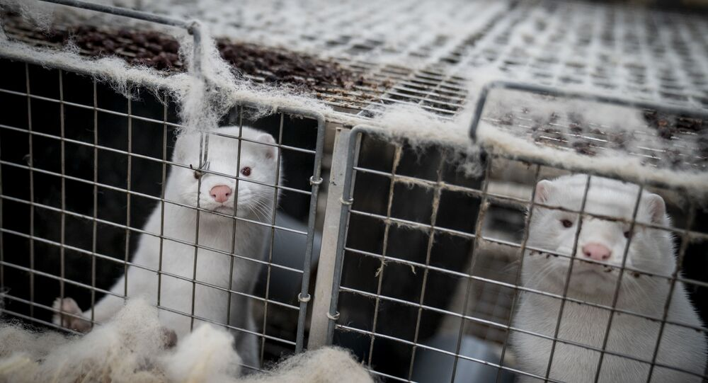 Danish Agriculture Minister Resigns Amid Criticism For Ordering Mink Cull