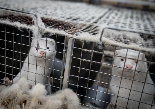 This file photo taken on November 6, 2020 shows mink looking out from their cage at the farm of Henrik Nordgaard Hansen and Ann-Mona Kulsoe Larsen as they have to kill off their herd, which consists of 3000 mother mink and their cubs on their farm near Naestved, Denmark. - A mutated version of the new coronavirus detected in Danish minks that raised concerns about the effectiveness of a future vaccine has likely been eradicated, Denmark's health ministry said Thursday, November 19, 2020.