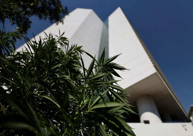 Marijuana leaves are seen next to Mexico's Senate building  at the protest cannabis garden of the Cannabico Mexican Movement in Mexico City, Mexico November 19, 2020