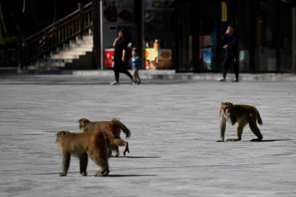 Monkeys walk in a square near the Bailong Elevator in Zhangjiajie National Forest Park, China's Hunan province.