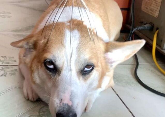 Corgi loves head massage