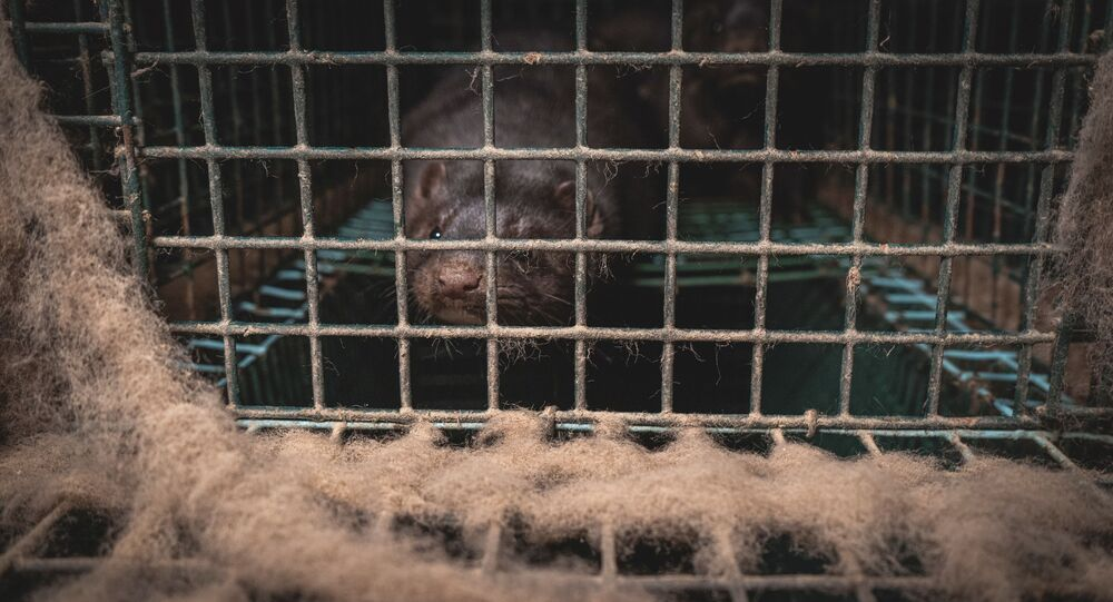 A mink is seen inside a cage in a farm in Lombardy, Italy, in this handout photo released by LAV on November 6, 2020. LAV/Handout via REUTERS