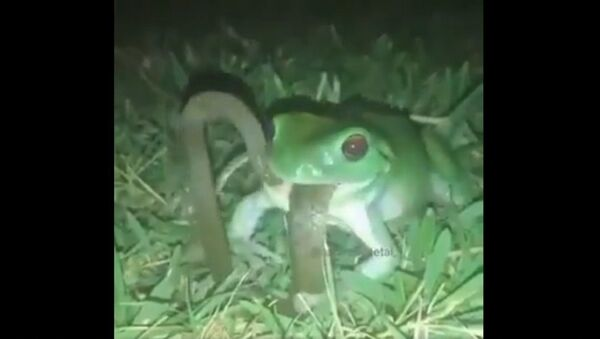 Frog swallows a snake  - Sputnik International