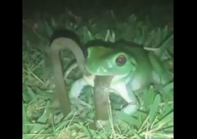 Frog swallows a snake