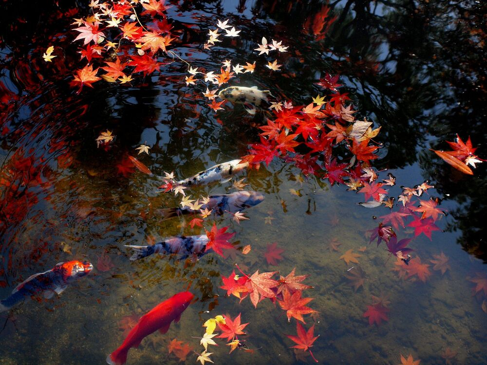 Red autumn leaves on a koi pond.