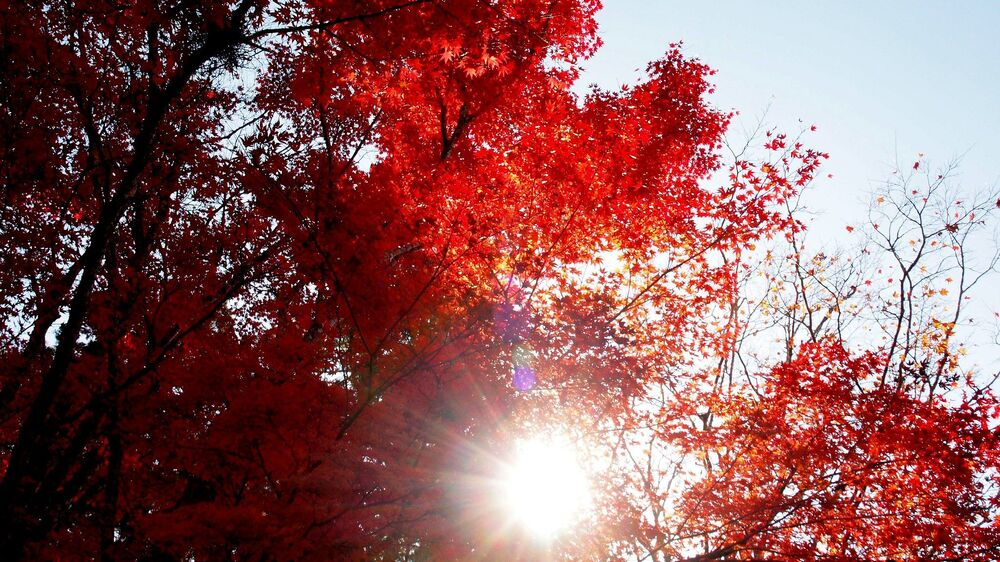 Sunlit red maples in Japan.
