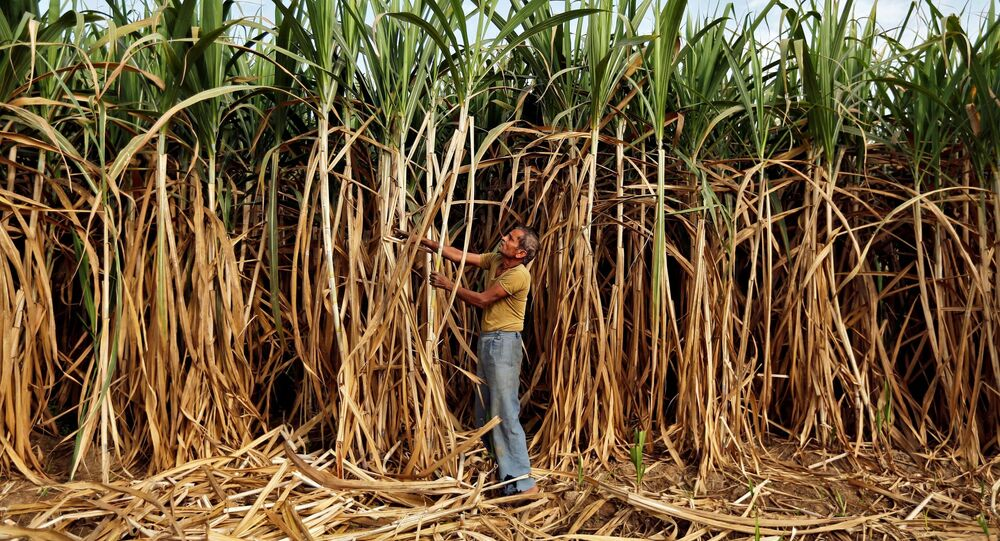 A farmer works in his sugarcane field on the outskirts of Ahmedabad, India February 28, 2015