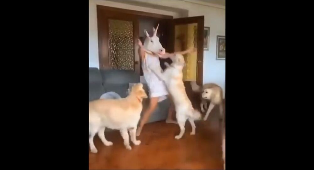 A bunch of sleepy goldens and a dancing...