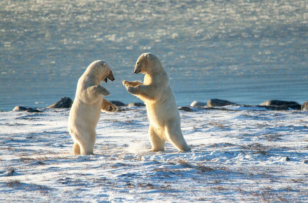 Polar bears at Cape Kozhevnikov.