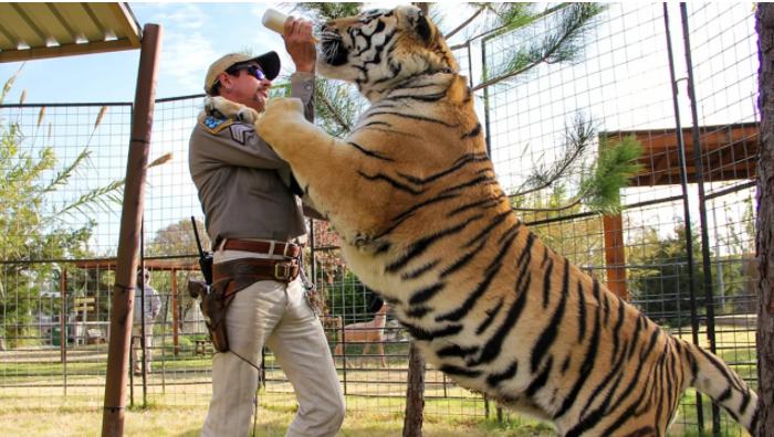 Joe Exotic feeds a tiger.