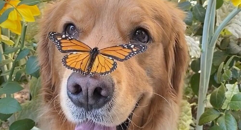 There's no surer sign of true friendship than when a butterfly feels it can give its doggy chum a boop on his snout.