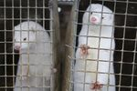 In this Dec. 6, 2012, file photo, minks look out of a cage at a fur farm in the village of Litusovo, northeast of Minsk, Belarus