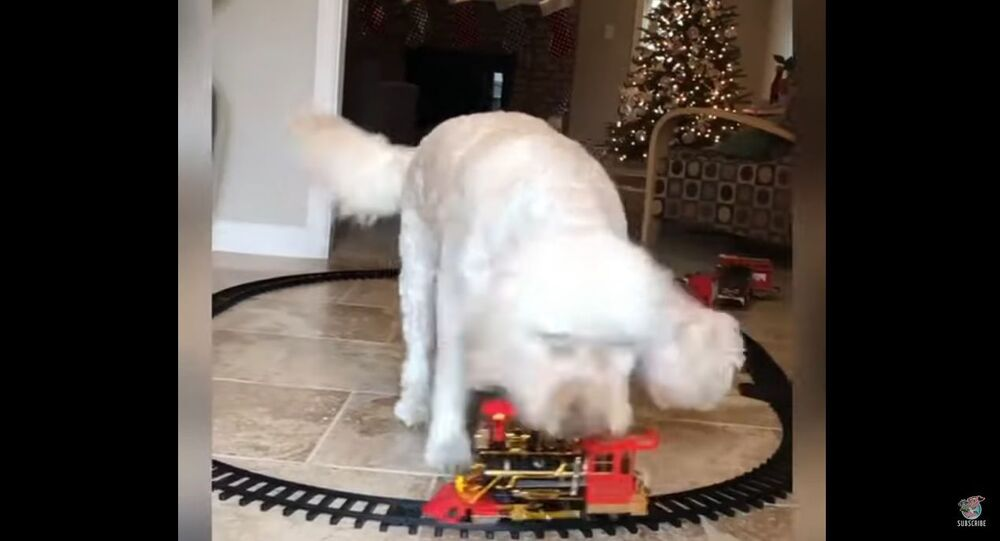 A goldendoodle is seen barking incessantly at a toy train its owner apparently brought as a Christmas present for his child