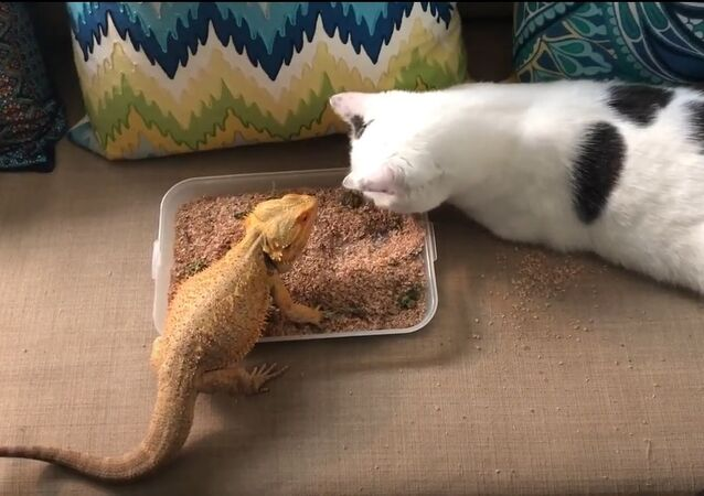 Kitty Assists Bearded Dragon to Eat Mealworms in Breakfast