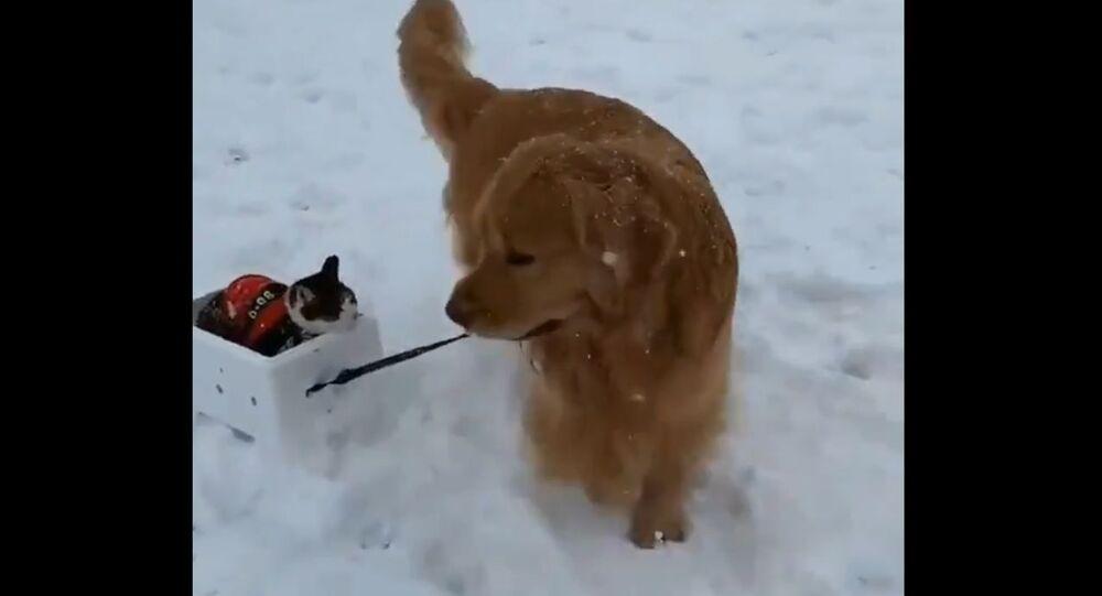 Make Way for Kitty Santa Claus! Golden Retriever Gives Cat a Sleigh Ride