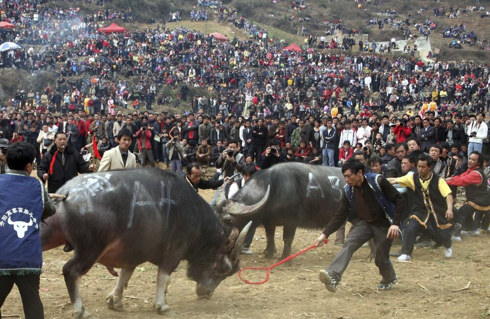 China's Miao ethnic minority considers the bull a symbol of hard work and bravery. Holding bullfighting festivals is a way the Miao worship, asking the gods for a rich harvest.      Above: In this photo released by China's Xinhua News Agency, people of the Miao ethnic group watch a bullfight in Kaiyang County, southwest China's Guizhou Province, 2 March 2008.