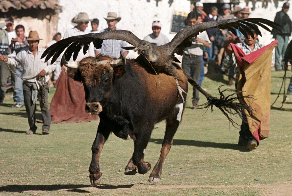 """Peru's so-called """"Blood festival"""" includes a ritual that involves tying a condor, representing the indigenous people, to the back of a wild bull, representing the colonists. For many Peruvians the festival symbolises the country's liberation from Spanish rule.  Above: An enraged bull with an Andean condor tied to its back lurches across the bullring in Cotabambas, on 29 July 1999, as an amateur bullfighter tries to get the bull's attention with a cape."""