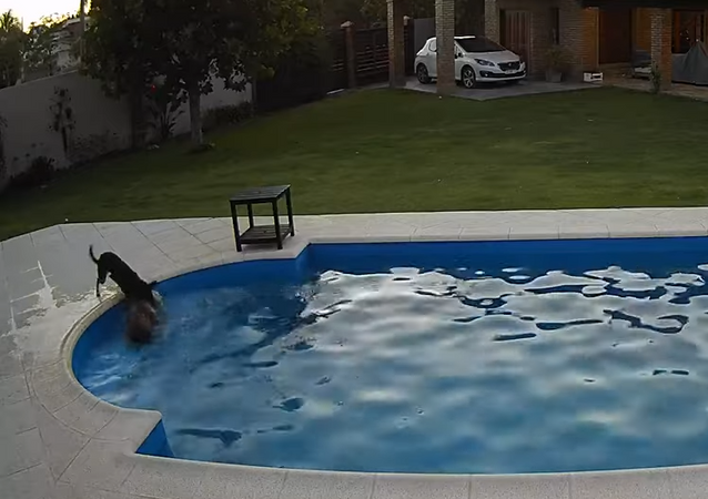 Dog Helps Blind Pooch Struggling to Come Out of The Pool
