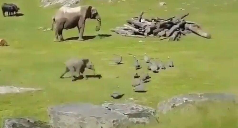 Baby Elephant Chasing Little Turkeys