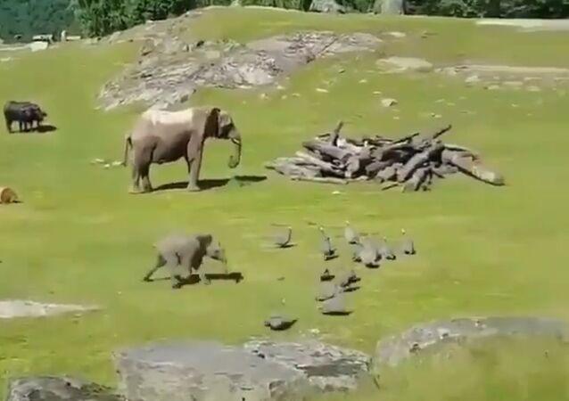 Baby Elephant Chasing Little Turkeys