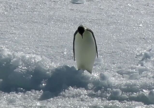 Running Into Weekend Be Like: Emperor Penguin Dives Into Icy Water