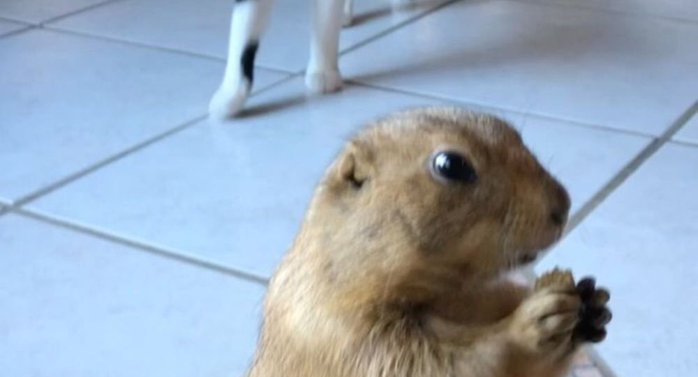 Breakfast For One: Prairie Dog Doesn't Want to Share With Cat