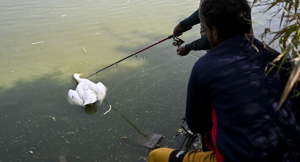 A caretaker prepares to collect a dead goose from the waters of Sanjay Lake in New Delhi on January 10, 2021