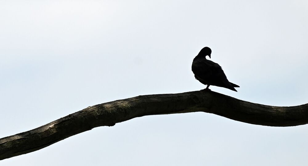 A pigeon sits on a tree branch next to a beach in Singapore on 16 October 2020.