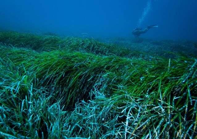 A picture from the University of Barcelona shows the underwater view of a meadow of Posidonia Oceanica seagrass in the Mediterranean Sea.