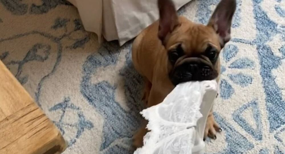 Cute little french bulldog steals owner's lingerie