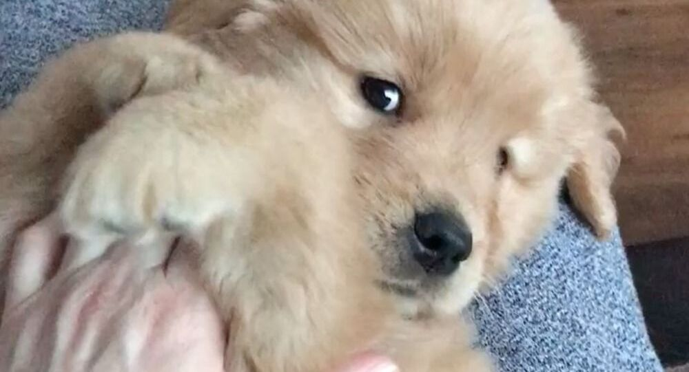 Snuggle Time: Golden Retriever Puppy Gets Some Serious Love