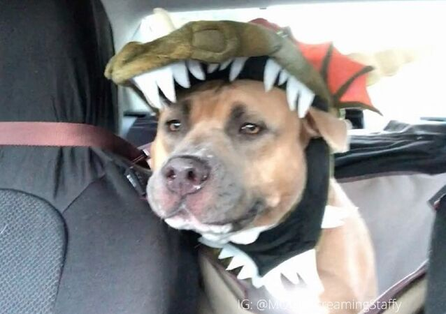 Well, I don't know about you, but I actually have to dress my pit bull up in a costume to make him look like a MOnster