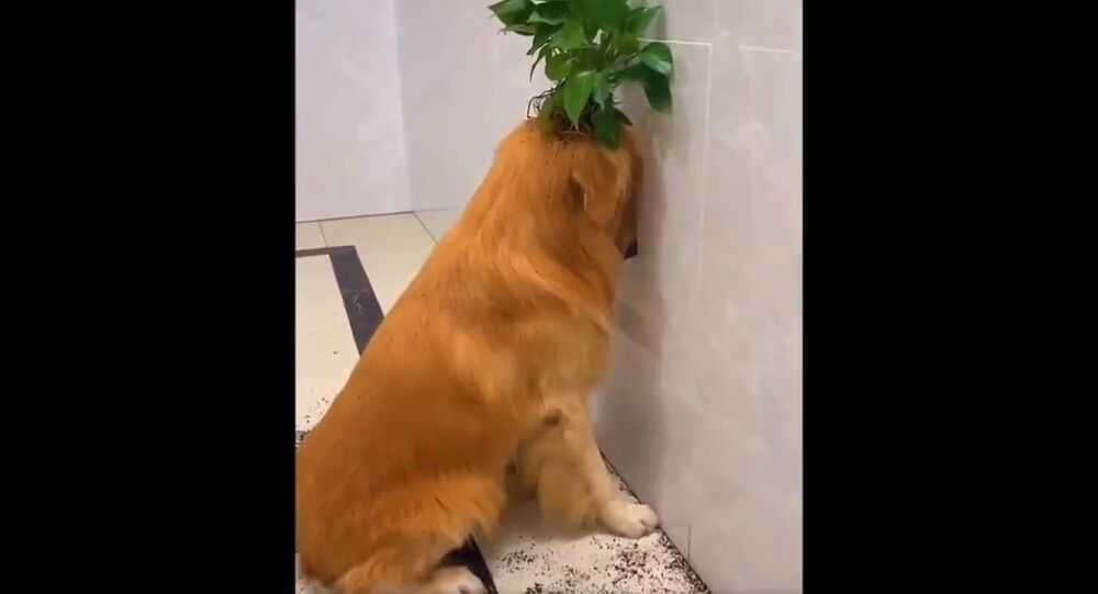 Golden Retriever Channel