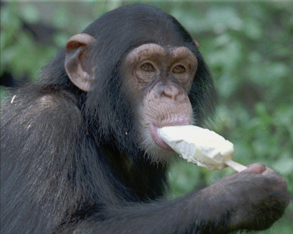 A monkey at Hannover Zoo eats an ice cream.