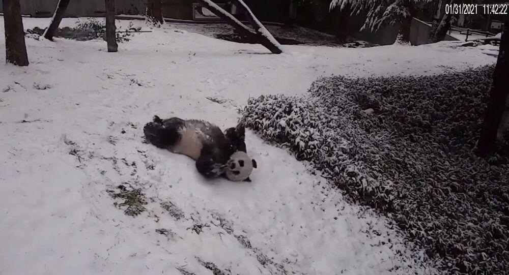 Panda enjoy snowy day at US Smithsonian's National Zoo on February 1, 2021
